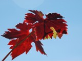 hojas de cepa, otoño, Florentino Martinez, Bodega familiar, tradición, enoturismo